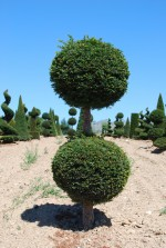 Taxus baccata 2 Boules
