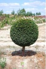 Taxus baccata Mini tige Boule