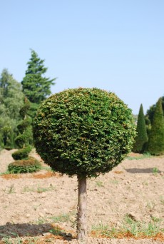 Taxus baccata 1/4 Tige Boule
