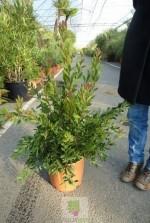 Callistemon citrinus 'Splendens'