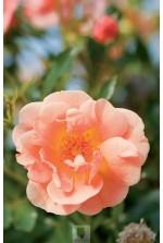 Rosa 'Calizia' ® noa 97400 a