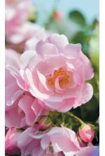 Rosa 'Mareva' ® noamel
