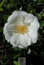 Rosa 'Opalia' ® noaschnee