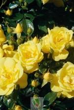 Rosa 'Suneva' ® noalesae