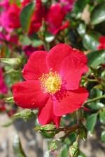 Rosa 'Vesuvia' ® noare
