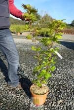 Acer palmatum 'Shirasawanum aureum'