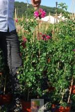 Rosa grimpant 'Emera' ® noatraum
