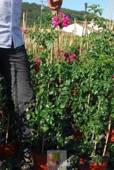 Décorosier Rosa grimpant 'Emera' ® noatraum