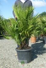 Chamaerops humilis - Pot 15 litres