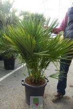 Chamaerops humilis - Pot 35 litres
