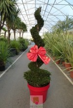 Taxus baccata Spirale (pot décor rouge)