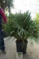 Chamaerops humilis - Pot 60 litres