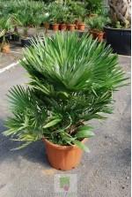 Chamaerops humilis vulcano - Pot 15 litres