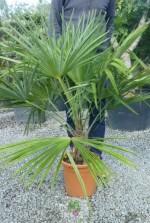 Trachycarpus fortunei - Pot 14 litres