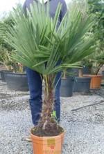 Trachycarpus fortunei - Tronc 20/30 cm