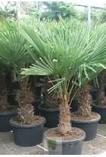 Trachycarpus fortunei - Tronc 40/50 cm