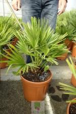 Chamaerops humilis vulcano - Pot 7 litres