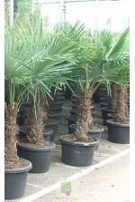 Trachycarpus fortunei - Tronc 50/60 cm