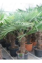 Trachycarpus fortunei - Tronc 60/70 cm