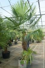 Trachycarpus fortunei - Tronc 70/80 cm