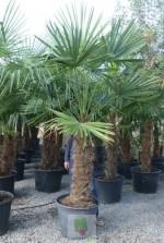 Trachycarpus fortunei - Tronc 90/100 cm