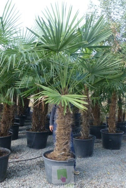 trachycarpus fortunei tronc 90 100 cm plan te p pini re. Black Bedroom Furniture Sets. Home Design Ideas