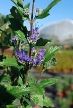 Caryopteris clandonensis Grand Bleu 'Inoveris'