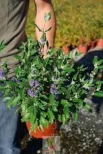 Caryopteris clandonensis Grand Bleu 'Inoveris'