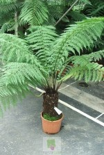 Dicksonia Antartica - tronc 20 à 30 cm