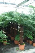 Dicksonia Antartica - tronc 100 à 120 cm