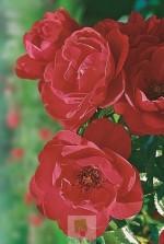 Rosa 'Kadora'  ® noa 83100 b