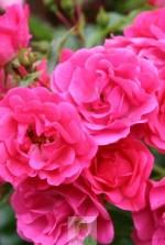 Rosa 'Emera' ® noatraum