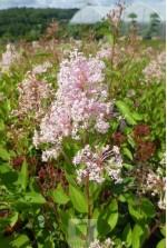 Ceanothus pallidus 'Marie Simon'