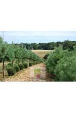 Pinus sylvestris