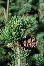 Pinus parviflora 'Nana'