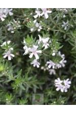 Westringia fructicosa blanc