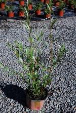 Salix alba sericea 'Argentea'
