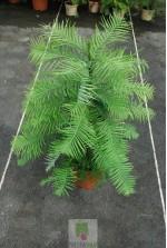 Pinus wollemi