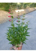 Penstemon rouge