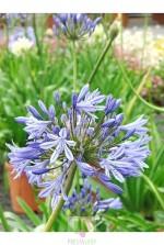 Agapanthus ombelatus (bleu)