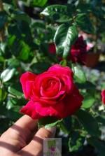Rosa grimpant 'Grand huit'