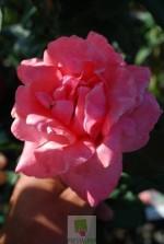 Rosa grimpant 'Queen Elisabeth'