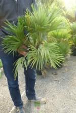 Chamaerops humilis vulcano - Pot 3 litres