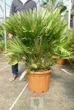 Chamaerops humilis vulcano - Pot 30 litres