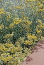 Helichrysum italicum 'Serotinum'