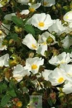 Cistus hybridus corbariensis