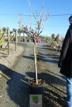 Wisteria sinensis 'Rosea' (Rose)
